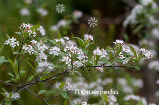 Aronia arbutifolia - Red chokeberry (112526)