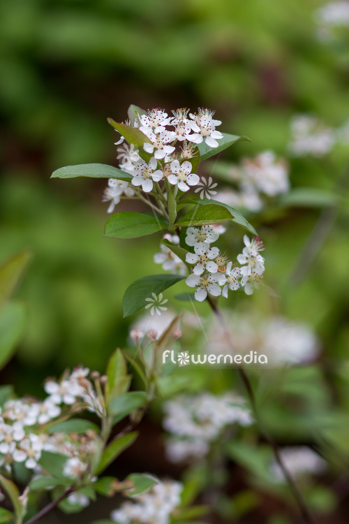 Aronia arbutifolia - Red chokeberry (112527)