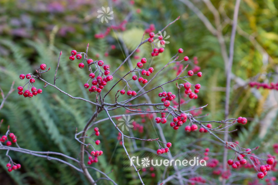 Aronia arbutifolia - Red chokeberry (112529)