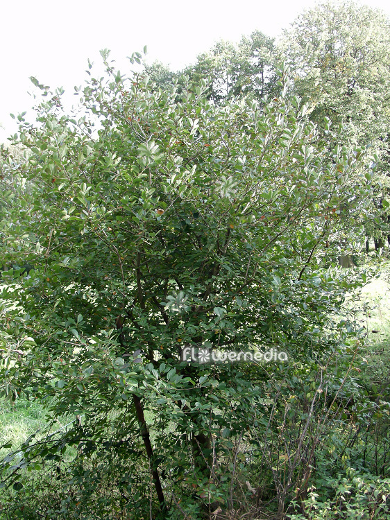 Aronia x prunifolia - Purple chokeberry (112345)