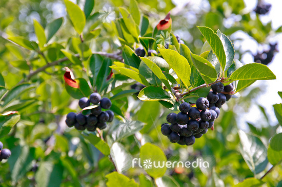 Aronia x prunifolia - Purple chokeberry (112534)