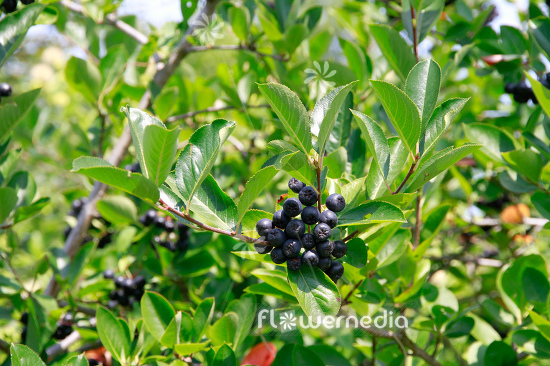 Aronia x prunifolia - Purple chokeberry (112535)