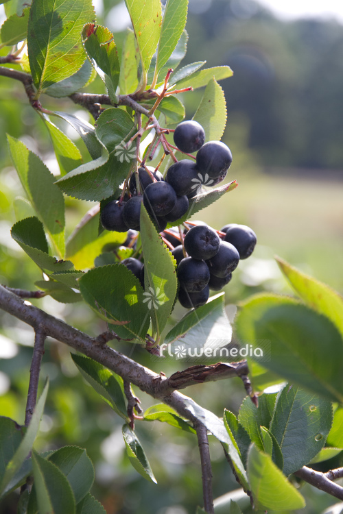 Aronia x prunifolia - Purple chokeberry (112536)