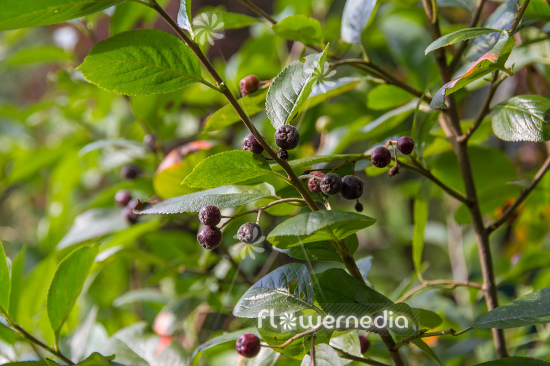 Aronia x prunifolia - Purple chokeberry (112537)