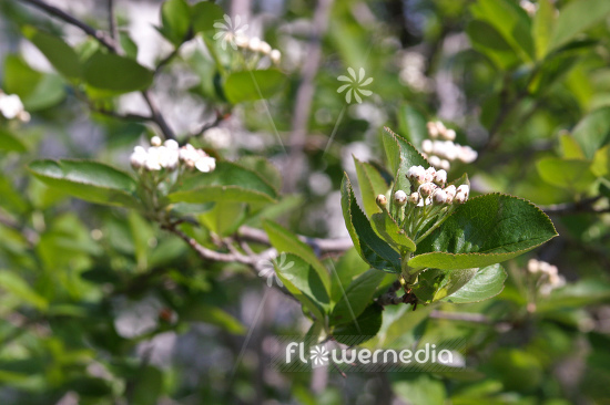 Aronia x prunifolia - Purple chokeberry (112538)