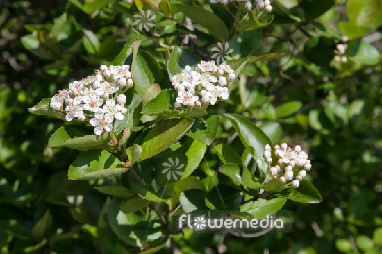 Aronia x prunifolia - Purple chokeberry (112539)