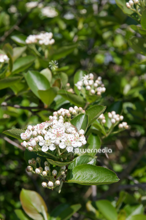 Aronia x prunifolia - Purple chokeberry (112540)