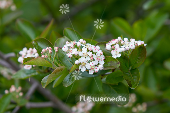 Aronia x prunifolia - Purple chokeberry (112541)