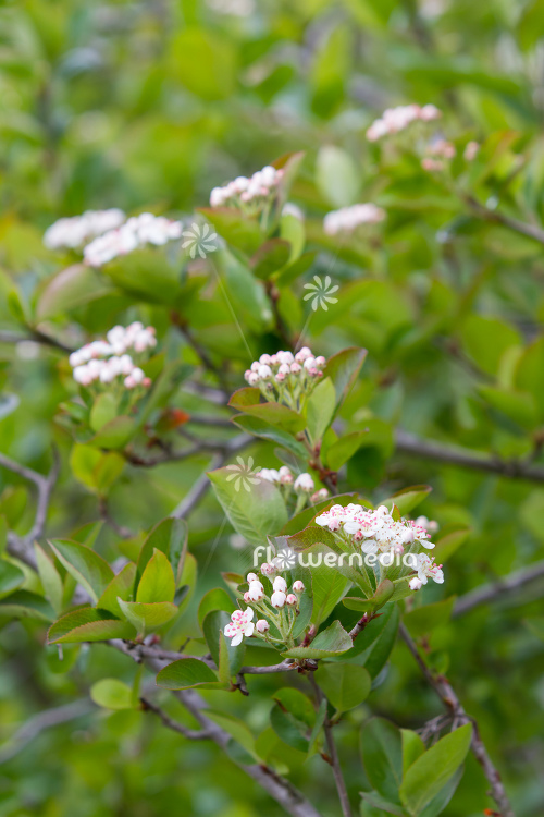 Aronia x prunifolia - Purple chokeberry (112542)