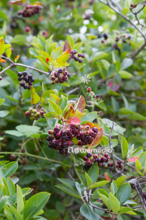 Aronia x prunifolia - Purple chokeberry (112543)