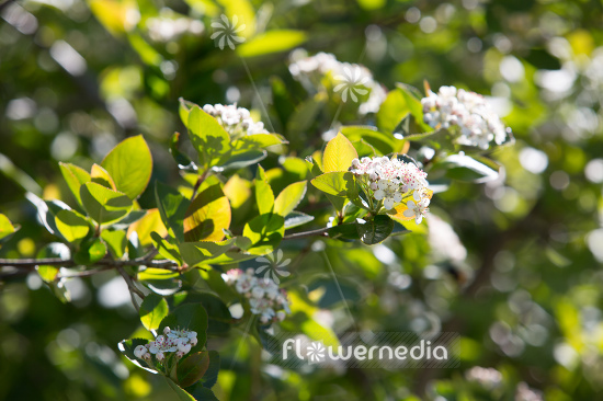 Aronia x prunifolia - Purple chokeberry (112544)