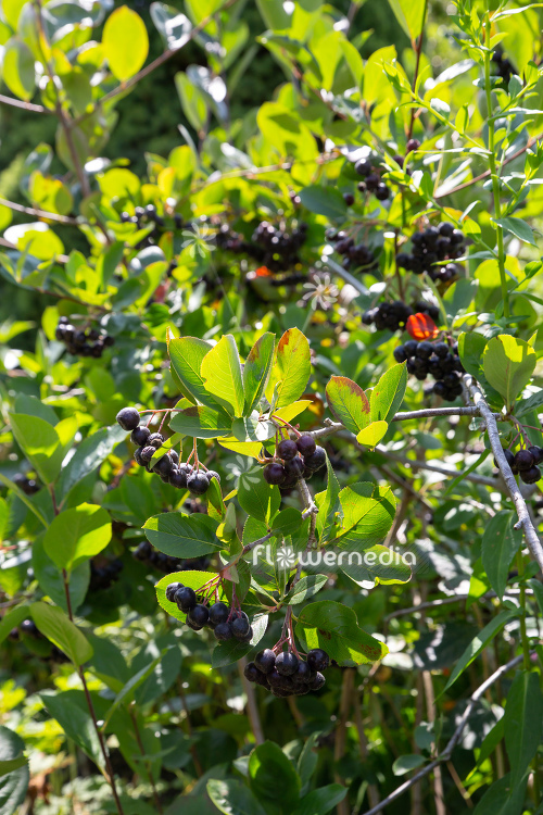 Aronia x prunifolia - Purple chokeberry (112545)