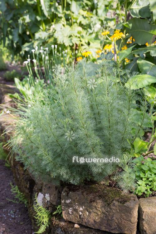 Artemisia alba - Camphor southernwood (112793) - flowermedia