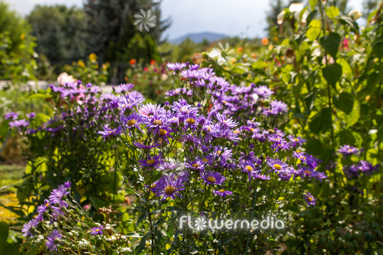 Aster amellus - Italian aster (113090)