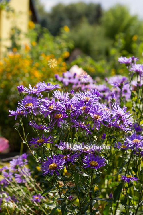 Aster amellus - Italian aster (113091)