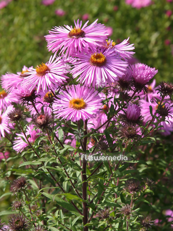 Aster novae-angliae 'Barr's Pink' - New England aster (112361)