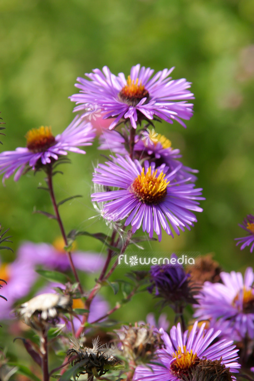 Aster novae-angliae 'Herbstflieder' - New England aster (113044)