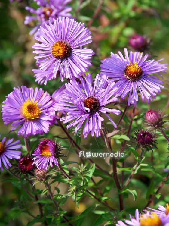 Aster novae-angliae 'Herbstflieder' - New England aster (113045)