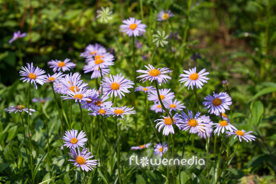 Aster tongolensis - East Indies aster (113080)