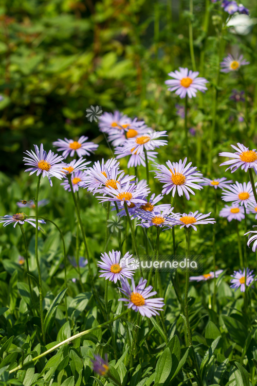 Aster tongolensis - East Indies aster (113081)