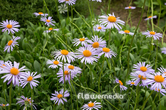 Aster tongolensis - East Indies aster (113083)