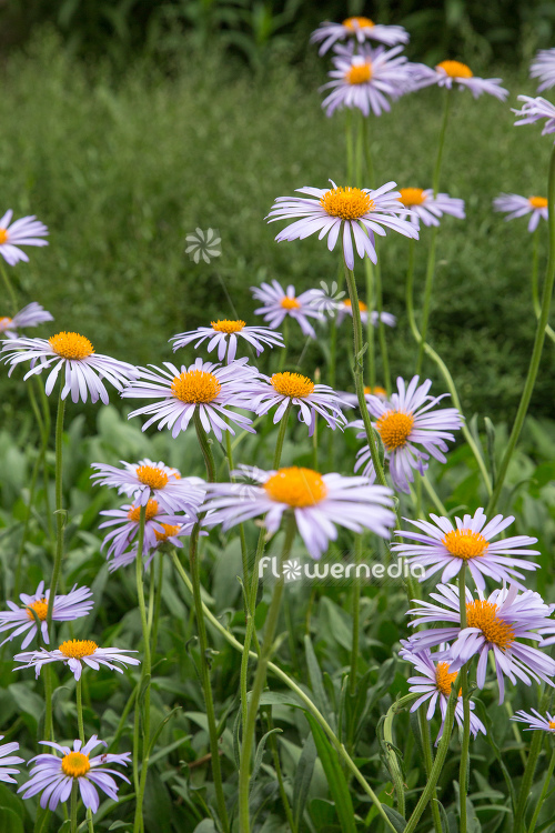 Aster tongolensis - East Indies aster (113084)