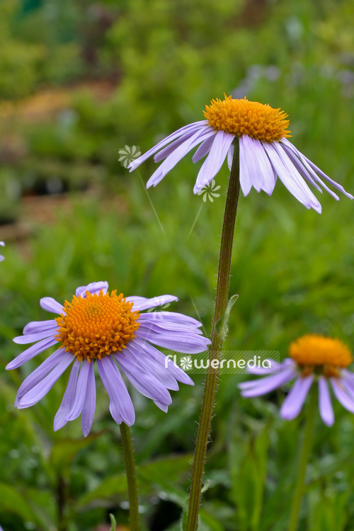 Aster tongolensis 'Wartburgstern' - East Indies aster (102599)