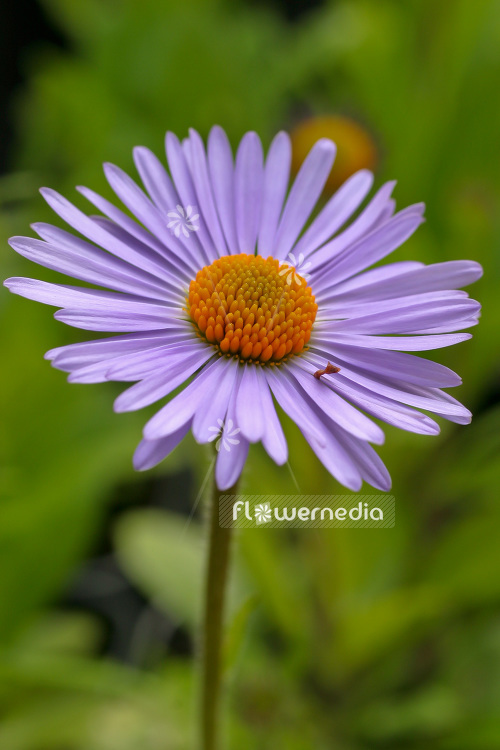 Aster tongolensis 'Wartburgstern' - East Indies aster (102600)