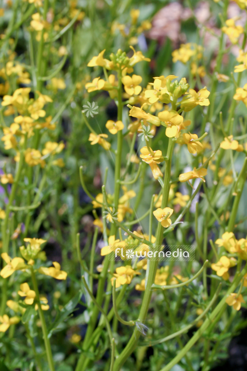 Barbarea vulgaris - Bittercress (111725)