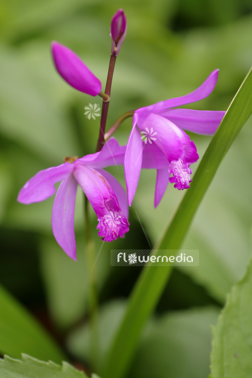 Bletilla striata - Common bletilla (102724)