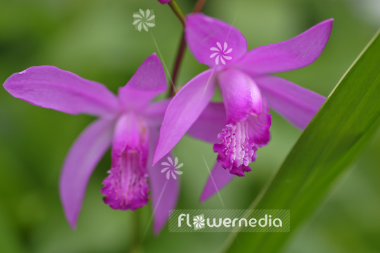 Bletilla striata - Common bletilla (102725)