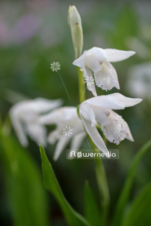 Bletilla striata 'Alba' - Common bletilla (102727)