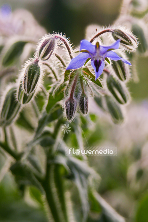 Borago officinalis - Borage (105321)