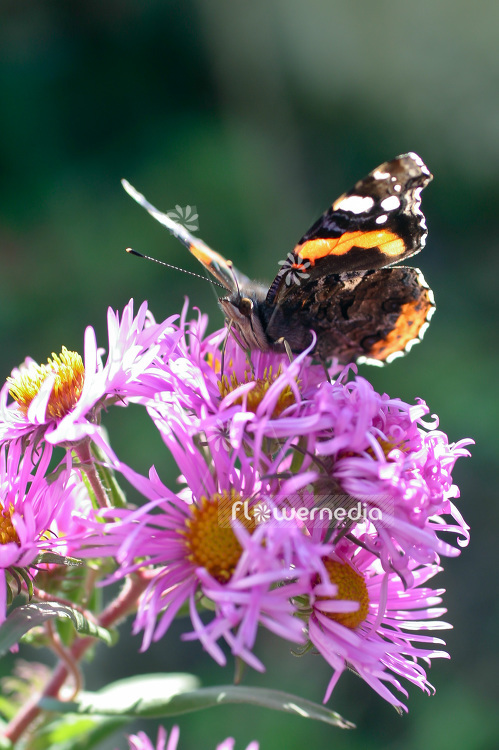Butterfly on Flower of an aster (100741)