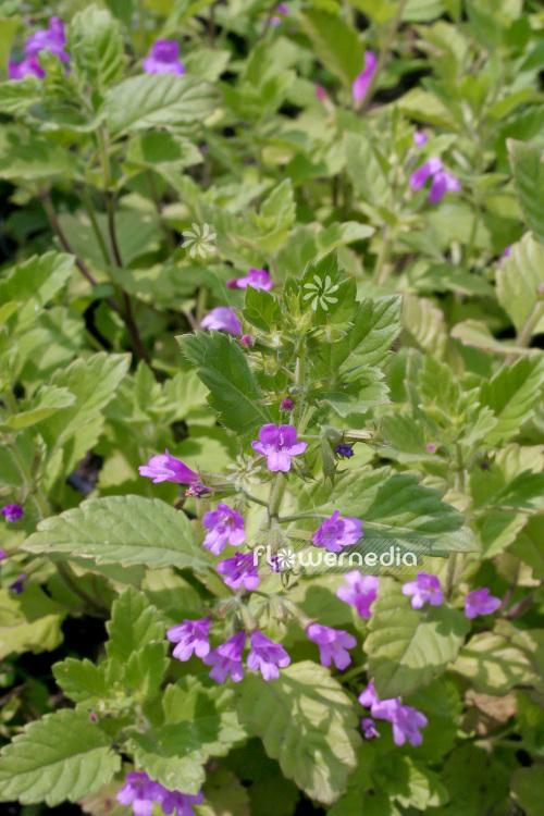 Calamintha Grandiflora Large Lowered Calamint 102786 Flowermedia