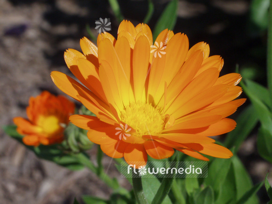 Calendula officinalis - Common marigold (106706)