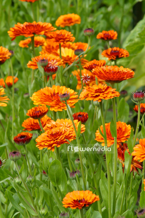 Calendula officinalis - Common marigold (106757)