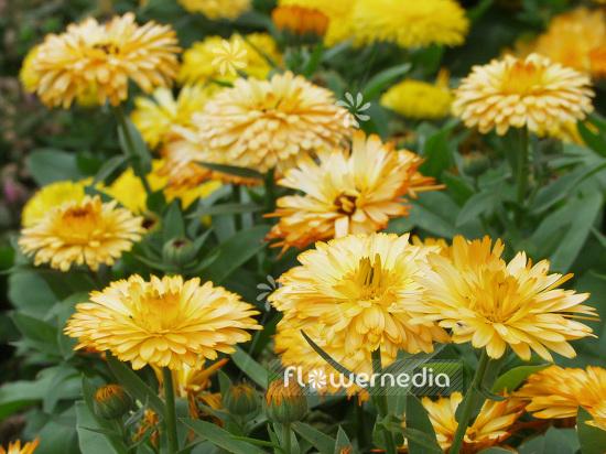 Calendula officinalis \'Fiesta Gitana\' - Common marigold (106708 ...
