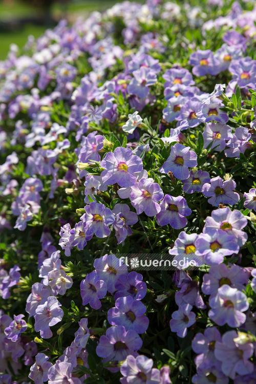 Calibrachoa 'Calita Special Sky Blue' - Mini petunia (109877) - flowermedia