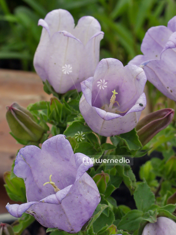 Campanula medium - Canterbury bells (100548)