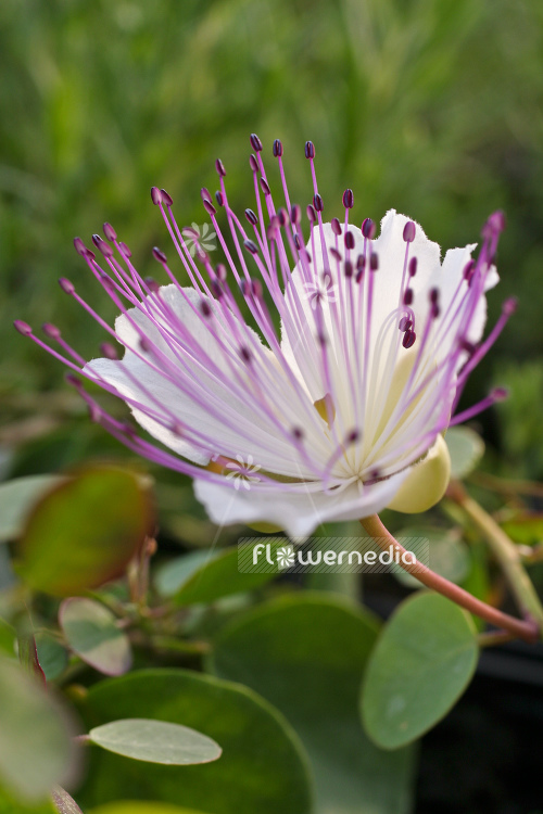 Capparis spinosa - Caperbush (105330)