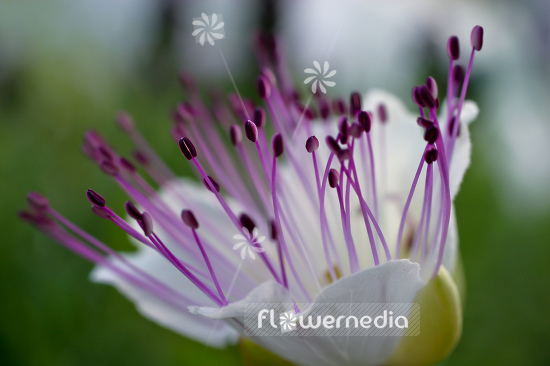 Capparis spinosa - Caperbush (105331)