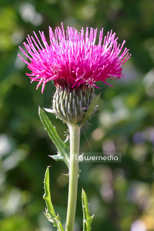 Cirsium japonicum 'Early Pink Beauty' - Japanese thistle (100639)