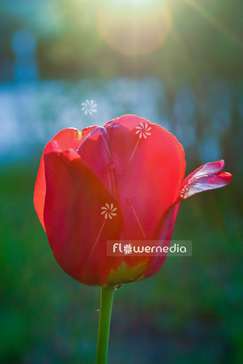 Closeup of a red tulip (106284)