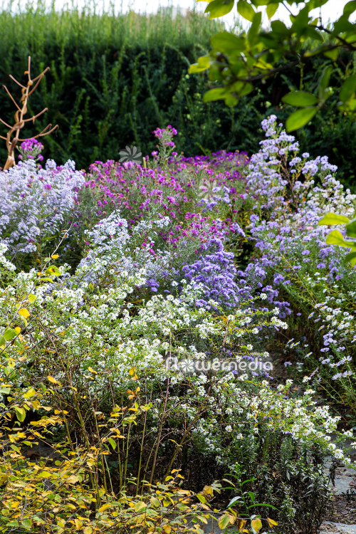 Colorful autumn asters in garden (113089)