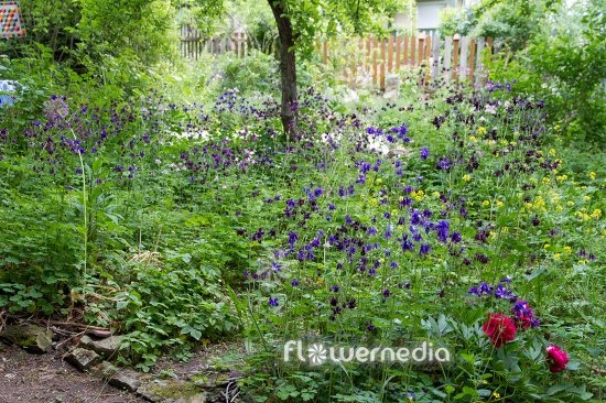 Colourful columbines (112751)