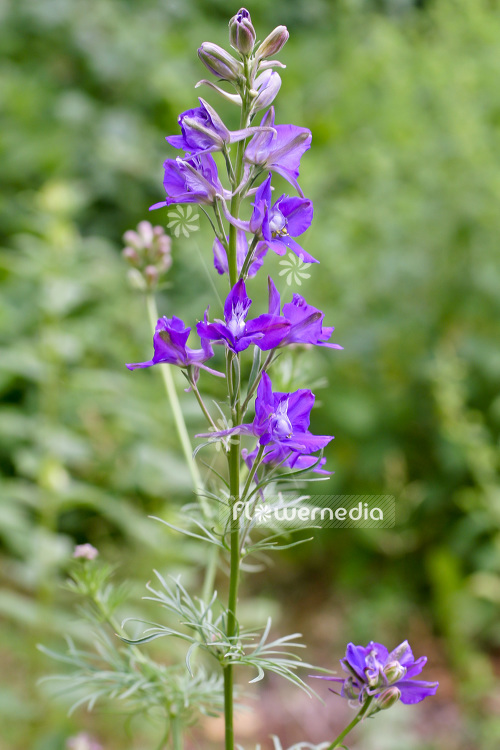 Consolida Ajacis Rocket Larkspur 102974 Flowermedia