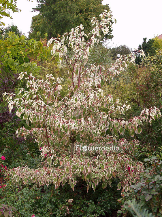 Cornus controversa 'Variegata' - Table dogwood (100736)