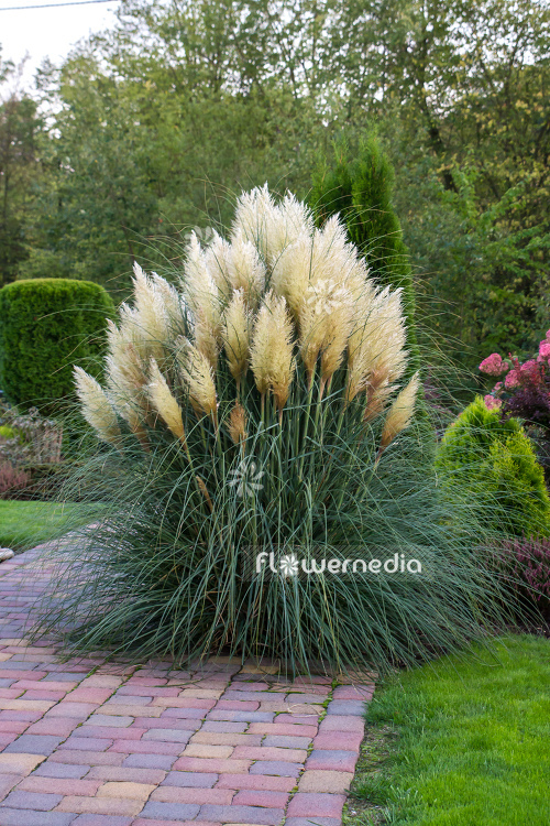 Cortaderia selloana - Pampas grass (107507)