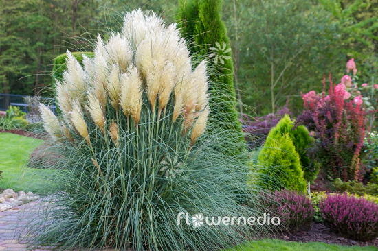 Cortaderia selloana - Pampas grass (107508)